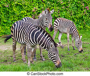 Zebra - 3 zebra eating grass A backdrop of flowers and...