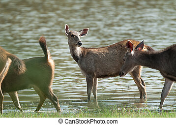 Female Sambar deer(Rusa unicolor ) relax on the ground in...