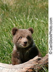 Grizzly bear cub sitting on the log - Grizzly bear cub...