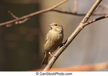 Greenfinch - Carduelis chloris - on a twig.