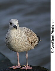 Juvenile Herring Gull - European herring gull - Larus...