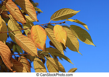 Gold leaves of bird-cherry tree against blue sky - Autumn...