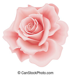 isolated pink rose - Isolated Beautiful Pink Rose on the...