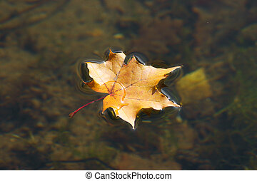 The autumn maple leaf lying on water - The autumn maple leaf...