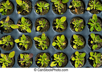 Seedlings on the vegetable tray. Top view.