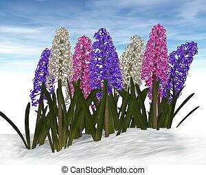 primavera, jacintos