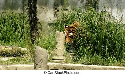 the tiger - Walking big cat A tiger in the Maharajahs garden...