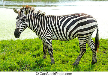 Zebra is standing There is a lake behind the scenes