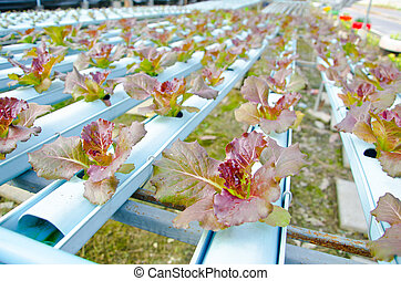 Red batavia vegetable in hydroponic. - Red batavia vegetable...