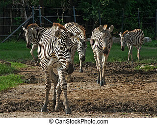 Zebra - Herd of zebras are out looking for food.