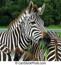 Zebra - Close-up Young zebra eating grass