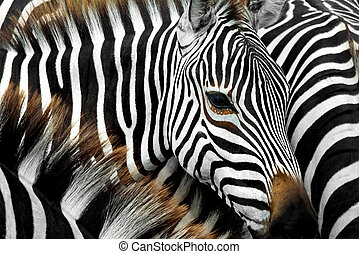 Zebra - close up from a zebra surrounded with black and...