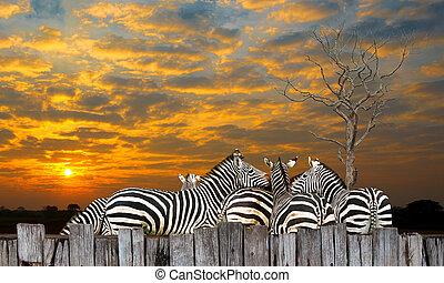 Zebra - Family zebra, zebra, many live together in at...