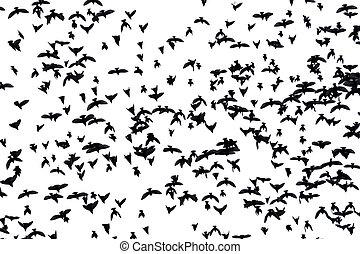 madarak, falka, vándorló