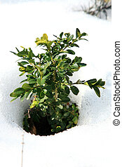 Buxus in snow - Small Buxus in snow, early spring in garden