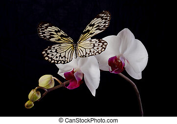 Butterfly on a white orchids. - Butterfly on a white orchids...