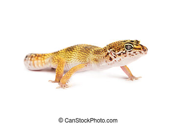 Leopard gecko isolated on white