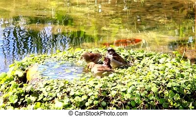 Urban sparrows bathing in the water pool with goldfish