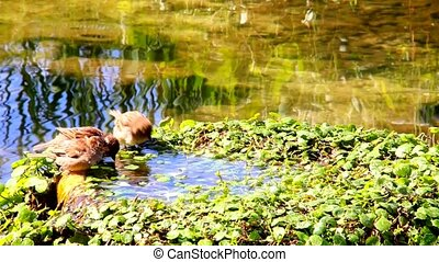 Urban sparrows bathing in the water pool with goldfish -...