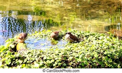 Urban sparrows bathing in the water