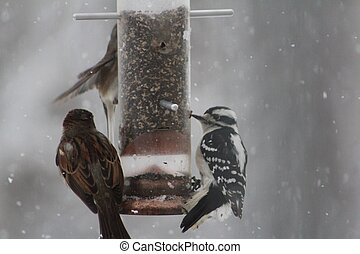 Woodpecker at birdfeeder - Female Downy Woodpecker at...