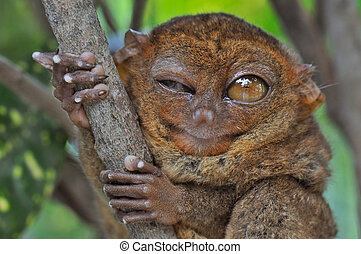 Winking Tarsier - Lovely Tarsier winking with one eye