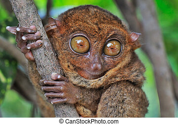 Big-eyed Tarsier looking Surprised