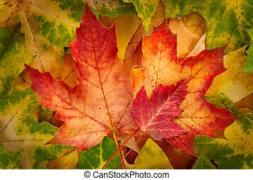 Red maple leaves - Three red maple leaves bordered by green...