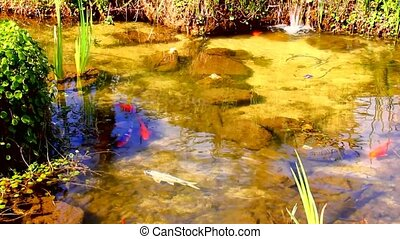 Goldfish and marsh grasses in a man made pond