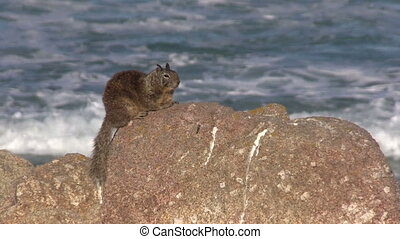 California Ground Squirrel on Rock - a cute California...