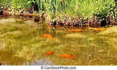 Goldfish and marsh grasses in a man - Looking at goldfish...