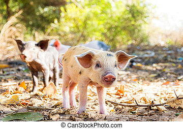 Cute piglets Madagascar - Cute piglets in the morning sun in...