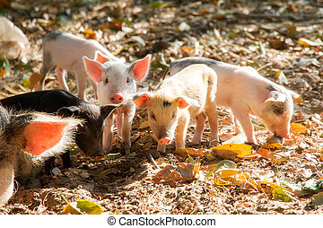 Malagasy piglets - Cute piglets in the morning sun in...