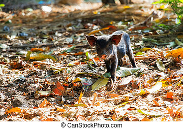 Black piglet - Cute black piglet in the morning sun in...