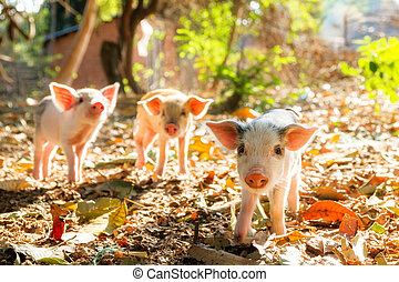 Sunshine piglets - Cute piglets in the morning sun in...