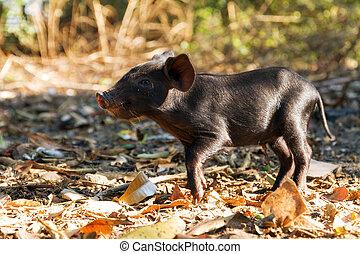 Black beauty - Cute black piglet in the morning sun in...