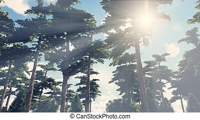 Sunbeams shine through the pines 3 - Beautiful woodland...