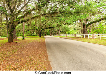 Country Road - Large oak trees canopy over a country road in...