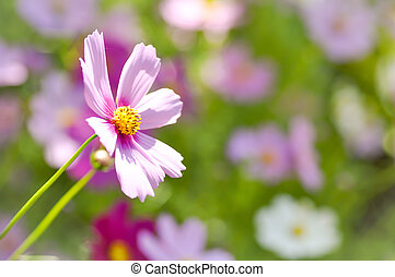maxican aster flower ,cosmos flower - maxican aster flower...