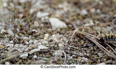 Thaumetopoea pityocampa - E - Pine processionary Species:...