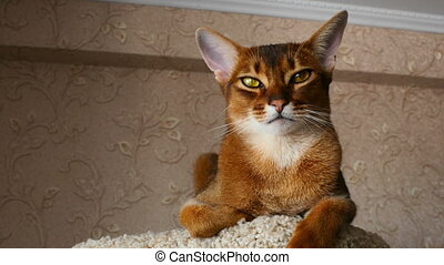 Abyssinian cat sitting on the upholstered pedestal