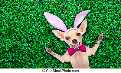 easter egg bunny dog - chihuahua dog dressed with bunny...