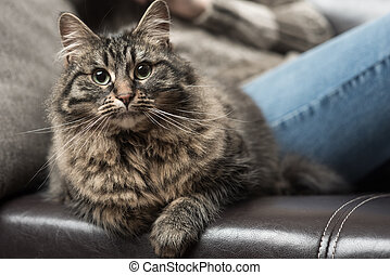 Beautiful cat on the sofa - Beautiful cat and young woman...