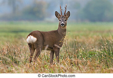 Roe deer - Photo of roe deer in a field