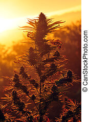 Cannabis plant - Photo of cannabis plant at sunset