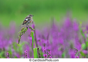 Common stonechat - Photo of common stonechat on a grass