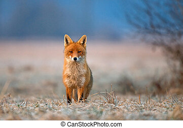 Red fox - Photo of red fox looking at the camera