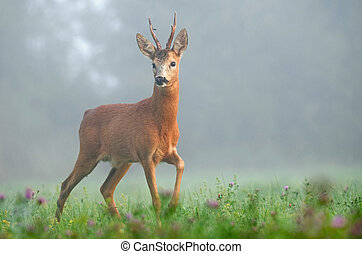 Roe deer - Photo of roe deer in the morning fog