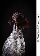 german shorthaired pointer sitting looking up on black...