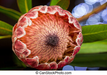Close up Piant Protea Flower on the Table - Close up Fresh...